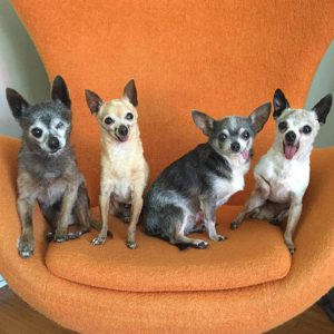 senior-chihuahuas-adopted-together